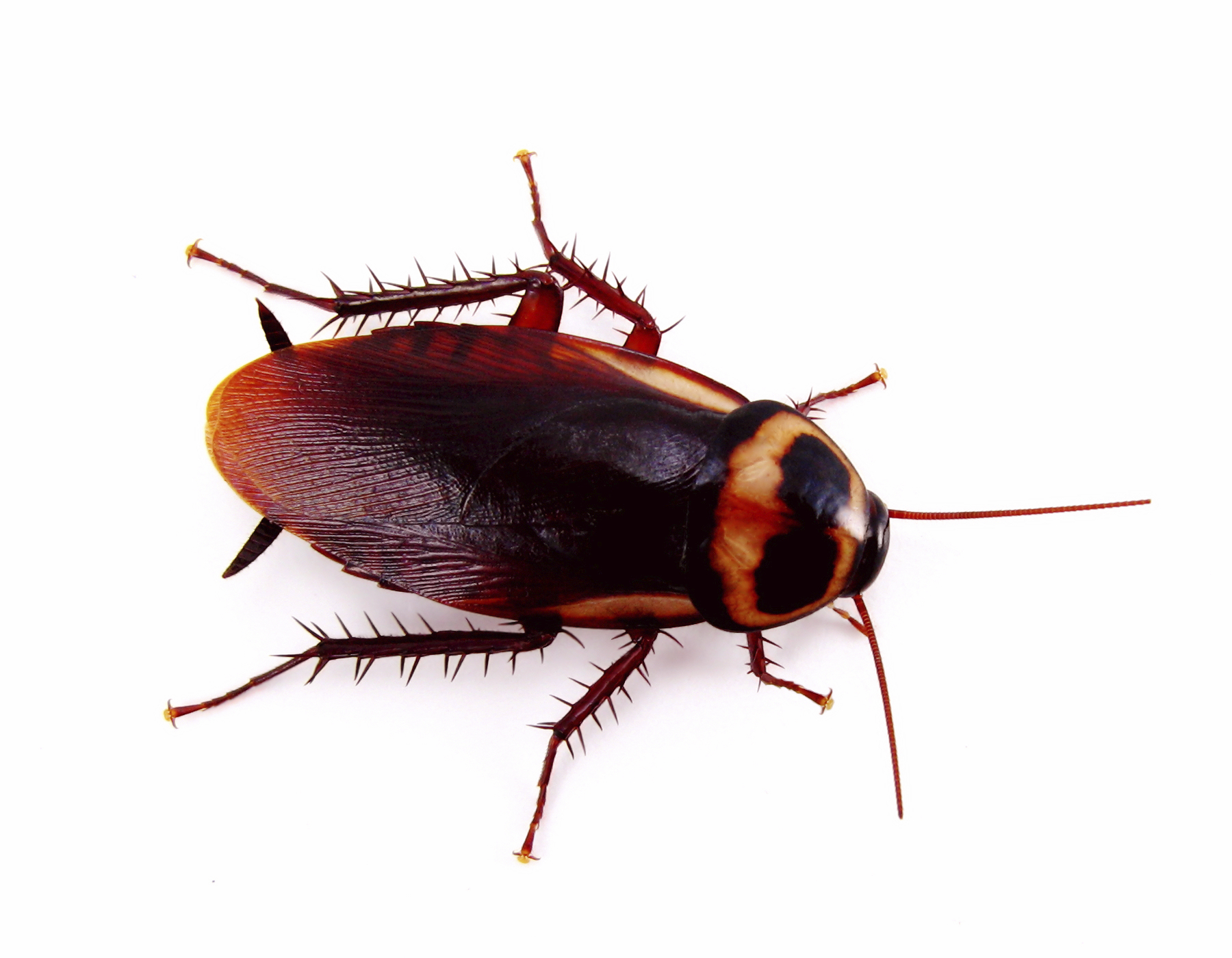 American Cockroach 5308392