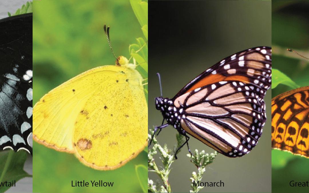 Butterflies of NC-01