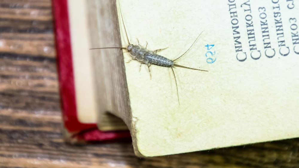 Are Silverfish Harmful to Humans?