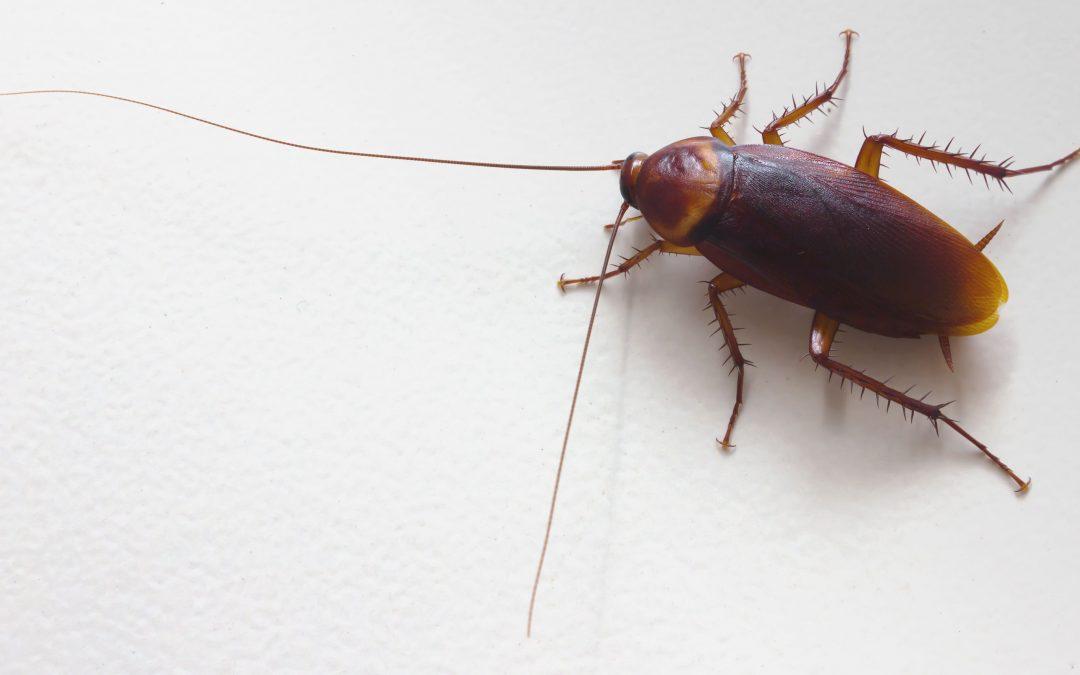 North Carolina Cockroach Guide